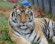 Tammy --- Purchase this print! #turpentinecreek #tiger