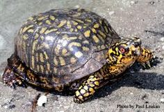 New Jersey Pinelands Commission Tennessee Waltz, East Tennessee, Amphibians, Reptiles, Sea Turtle Wallpaper, Eastern Box Turtle, Tortoises, Photo Library, Box Turtles