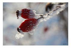 """*Frozen Rosehips*                         Serie: WinterWonderLand   Bild 7 / Freihand ohne Makro Objektiv / Canon EOS 450 D / 05.01.2009   Persönliche Vorgabe mal wieder:  das natürliche Licht & Stimmung einzufangen und so wenig, wie möglich """"nachzuarbeiten"""" (Schärfe, Licht, Kontraste).   * ° * ° *"""