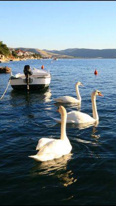 Dalmatia Croatia, Painting Inspiration, Cute Animals, Bird, Ducks, Canada, Beauty, Antigua, Birds