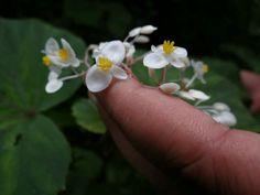 Flor da Begônia, Maranguape - CE