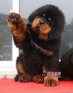 Tibetan Mastiff puppy - Look at the size of those feet!!!