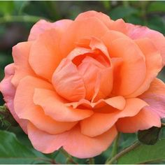 "Westerland™️ rose. Magnificent, large, well formed 5"" blooms (petals 20-25) of apricot, copper-orange on a bushy, vigorous,upright continual blooming plant with bronze-green foliage. We have to keep busy propagating this one because it is so popular. A truly outstanding shrub rose! Marvelous fragrance. Repeat blooming. Very winter hardy."
