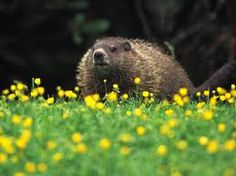 And Happy Groundhog Day to our friends from the USA! Animals And Pets, Cute Animals, Happy Groundhog Day, Pond Life, Very Scary, Garden Pests, Brown Bear, Colorful Pictures, Pet Birds