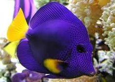 Risultati immagini per pesci tropicali