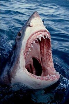 Great White Shark - Carcharodon carcharias The great white shark, Carcharodon carcharias, also known as great white, white pointer, white. Shark Week, Orcas, Sharks With Human Teeth, Beautiful Creatures, Animals Beautiful, Hai Tattoo, Shark Photos, Shark Bait, Shark Shark