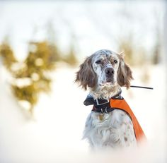 Większość psów myśliwskich dziedziczy po swoich przodkach doskonały zmysł orientacji. Jednak gdy czworonóg rzadko wychodzi poza własne podwórko, to w żaden sposób tego zmysłu nie rozwija. Pogoniwszy za zwierzyną w nieznanym terenie, potrafi zagubić się na całe godziny, niekiedy dni, i błądzi po lesie, bo nie wie, jak wrócić do swego pana.