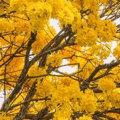 Galería de guayacanes (araguaneyes) en flor...