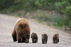 A Sow with three spring cub, Denali. Baaaah so cute, look at the pads of their paws...