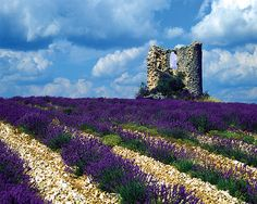 Windmill Ruins and Lavender - Provence, France