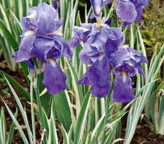 Variegated Iris: This blue iris plant has a unique foliage of white and green with a bright blue flower. Description from atlurbanfarms.com. I searched for this on bing.com/images