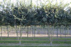 Acer campestre | Van Roessel Topiary Trees