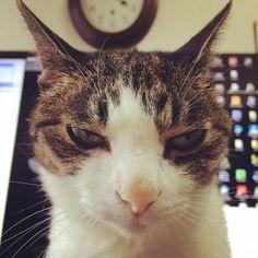 あの作業させて#猫 #cat