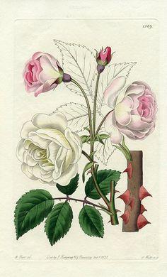 M. Hart - Ruga Rose, 1831.
