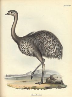 Zoology of the Voyage of H.M.S. Beagle, 1839–43,Vol.2 Part 3, Birds. Rhea Darwinii