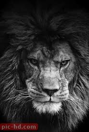 صور اسد خلفيات اقوى الاسود Animals Animals Wild Animals Beautiful