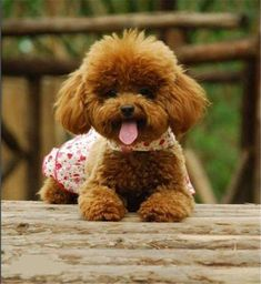 "Determine even more relevant information on ""french poodle puppies"". Teacup Puppies, Cute Puppies, Cute Dogs, Poodle Puppies, Baby Animals, Cute Animals, Poodle Haircut, Red Poodles, Poodle Cuts"