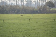 Vanmiddag graasden er drie reëen in de wei langs de Ooysedijk! Gemeente #Zevenaar. Zaterdag 19 oktober 2013. via twitter @ooyismooi.