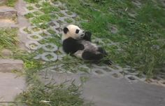 Baby Panda Habitat Webcam | LiveAnimals.tv