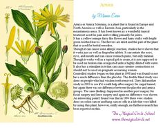 Arnica information by Minnie Eerin The Magical Circle School www.themagicalcircle.net