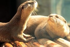pretty otters