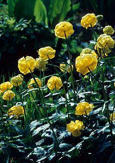 Trollius aka Globe Flower.