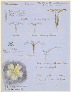 John Ruskin, Studies of a primrose with details and notes. Verso, written notes and some simple diagrams relating to primrose structure on lower half of paper.