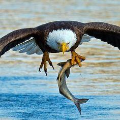 Photo: Brian Kushner / Audubon Photography Awards — via The National Audubon Society FB Birds Of Prey, Storm King Art Center, Eagle Art, Eagle Wings, Photography Awards, Fauna, Wildlife Art, Wild Birds, Bird Watching