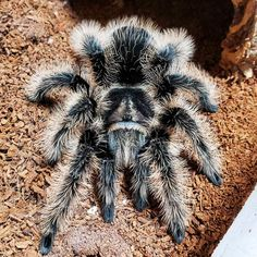 Tliltocatl albopilosum 'Nicaraguan' - Unsexed - Nicaraguan Curly Hair TarantulaTliltocatl albopilosum is a species of tarantula, also known as the curlyhair taran Tarantula Habitat, Tarantula Enclosure, Pet Tarantula, Pet Spider, Halloween Pictures, Exotic Pets, Beautiful Creatures, Wonders Of The World, Habitats