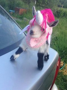 The unigoat is one of the most majestic, flawless creatures ever seen by man. They come in tiny shapes and only the most extravagant of colors.   Community Post: The Unigoat Is A Real Mythical Creature That We All Should Love