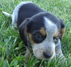 we are welcoming a new friend into our home in two weeks: a blue tick hound puppy Blue Tick Hound Puppy, Hound Puppies, Hound Dog, Cute Puppies, Cute Dogs, Dogs And Puppies, Doggies, Animals And Pets, Baby Animals