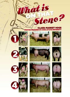 Market Hogs from Iowa State University DRIVE Livestock Youth Magazine #stockshowlife #agproud