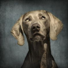 Portrait Of A Weimaraner Dog Photograph by Wolf Shadow  Photography