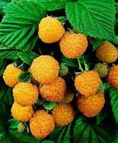 Orange Raspberry, frambuesas naranjas