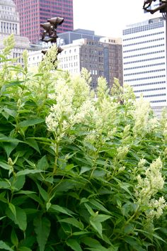 A gentle giant of the garden - Persicaria polymorpha, White Dragon Knotweed