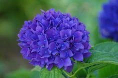 紫陽花:hydrangea
