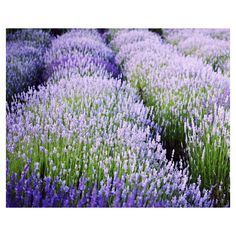 Lavender Field, purple wall art, lavender flowers, purple and green,... ($31) ❤ liked on Polyvore featuring home, home decor, wall art, green home decor, blue wall art, flower stem, blue home accessories and purple flower wall art