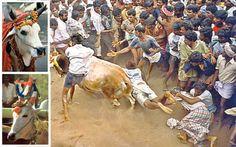 Jalli Kattu - a carnival celebrated in Tamilnadu, India during Pongal festival.