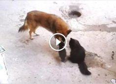 A macska elvitte a kölykeit vendégségbe – a kutyához! Ennél meghatóbb találkozót nehéz lenne elképzelni! Ferret, Animals, Animales, Animaux, Ferrets, Animal, Animais, European Polecat