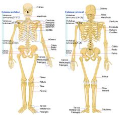 Structure Of Human Body Picture . Structure Of Human Body Picture Bone Anatomy Ask A Biologist Human Anatomy Chart, Human Anatomy Drawing, Human Body Anatomy, Human Anatomy And Physiology, Human Bone Structure, Human Body Bones, Human Anatomy Picture, Human Body Diagram, Axial Skeleton