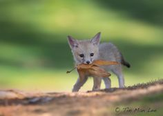 Endangered San Joaquin Kit Fox pup with a piece of leaves. Central California. Photo Tin Man Lee 2014
