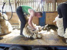 Shearing the sheep on Ryehill Farm, Northumberland