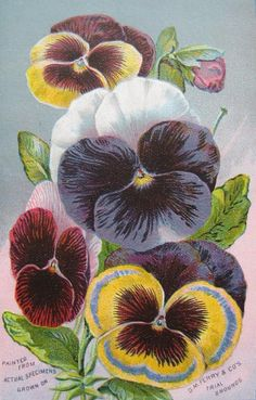 1890s Pansy Pansies Print Seed Catalog DM Ferry