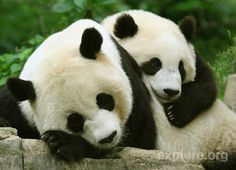 Nothing's better than a Tai Shan cuddle.