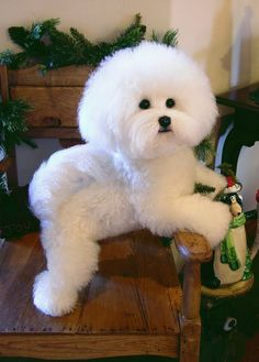like cotton :3 -Bichon Frise