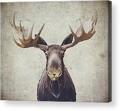 Acrylic Prints Moose Pictures, Print Pictures, Canvas Wall Decor, Canvas Art, Canvas Prints, Canvas Ideas, Moose Decor, Moose Art, Moose Head