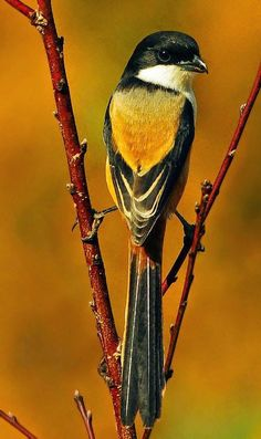 Long Tailed Shrike Amazing World beautiful amazing