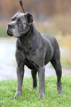 10 Best Blue Cane Corso Italian Mastiffs Images Blue Cane Corso