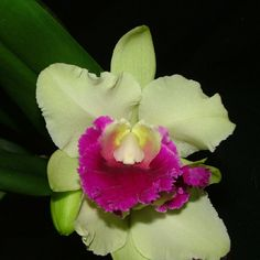 blc good news cattleya | Details about Blc. Good News x Erin Kobayashi IN BUD Cattleya Orchid 5 ...