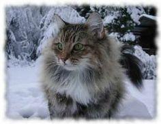 gatto norvegese delle foreste grigio - Cerca con Google